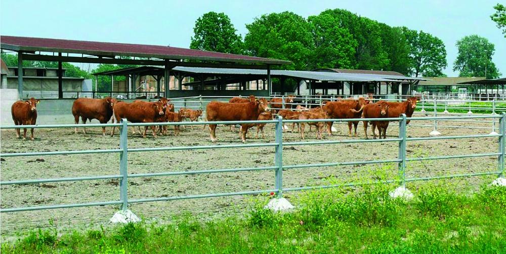 perdita di peso nelle mucche