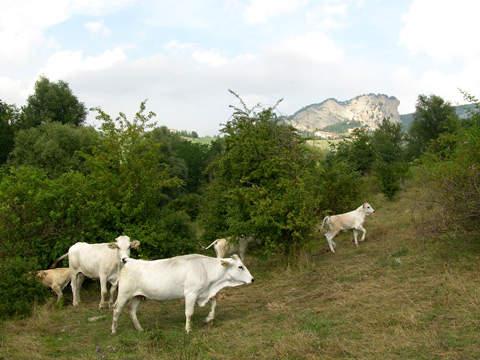 vitellone bianco