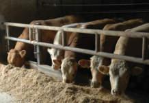 bovino da carne