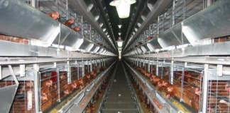 avicoltura