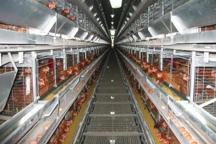 Avicoltura, tavolo filiera