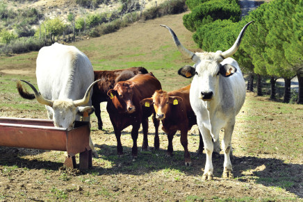 Carne, crossbreeding con Beefmaster