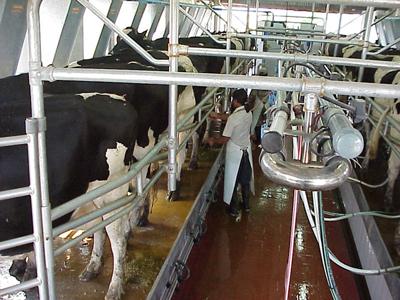 latte bovino mungitura
