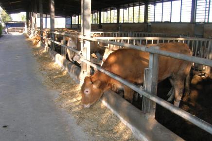 Valutare le carenze di oligoelementi nell'allevamento dei vitelloni da ingrasso