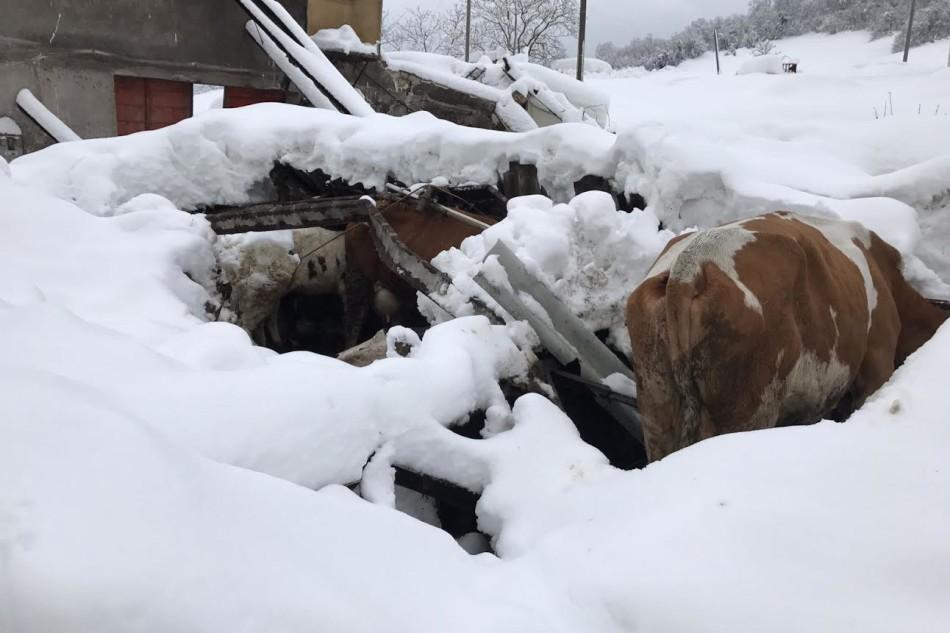 stalla mucche crollata