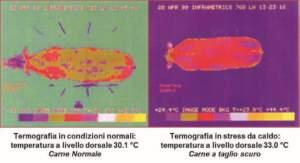 cambiamenti climatici sono in grado di influenzare il colore e la tenerezza, elevando l'incidenza di carne a taglio scuro o carne Dfd (Dark, firm and dry).