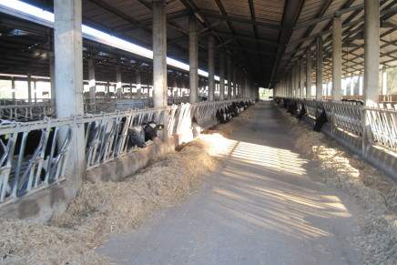Stress da caldo, dalle bovine il 20% di latte in meno