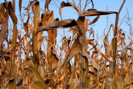 Siccità, Coldiretti: mazzata su zootecnia e mais