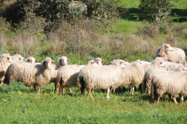 bestiame ovini al pascolo informatore zootecnico