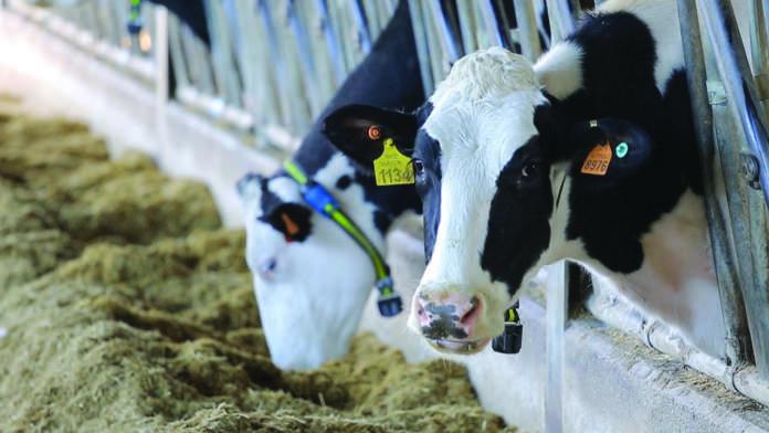 vacche in stalla
