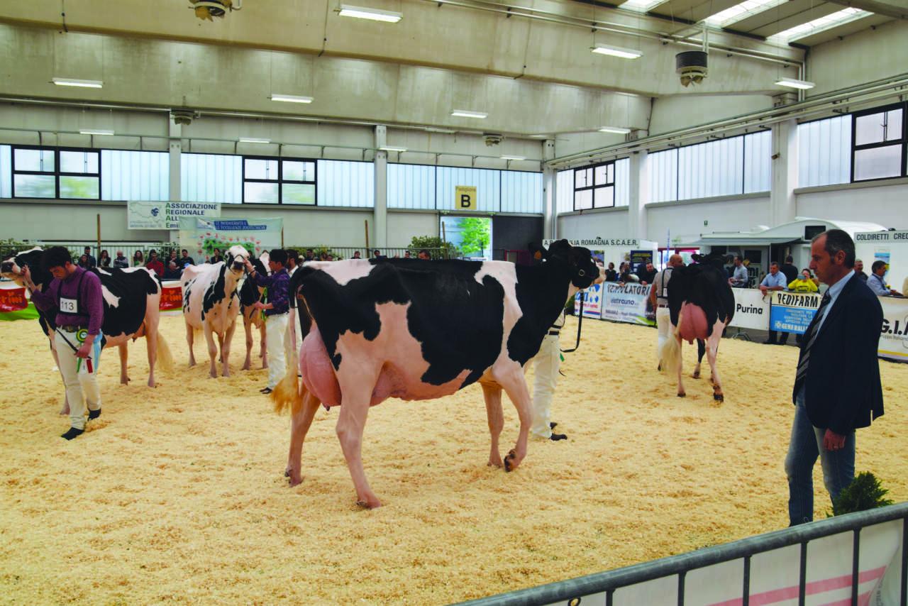migliori bovine