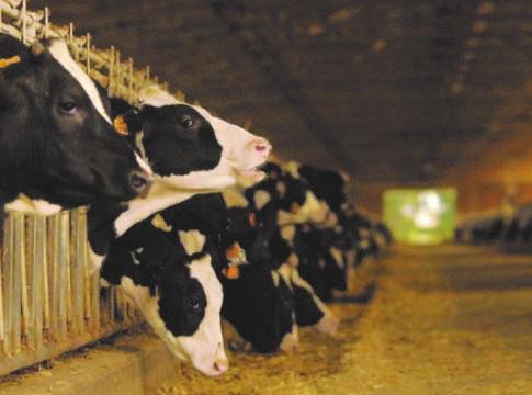 Le bovine dell'azienda Maccarese