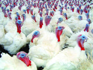 Consumi carne avicola