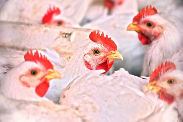 Polli da carne