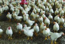 filiera avicola