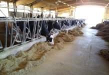 salute della bovina