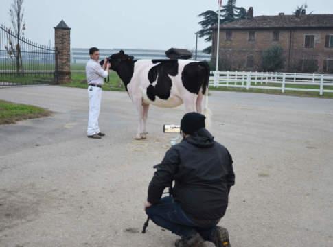 festival vacca da latte